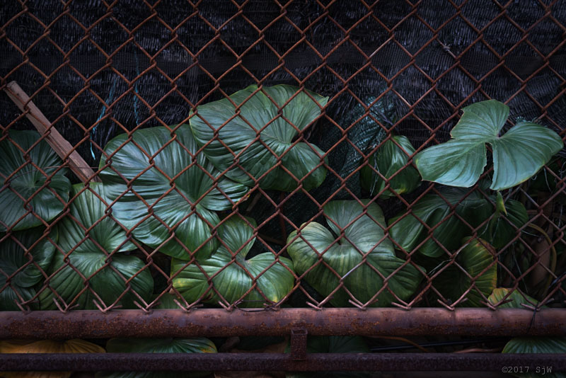 Monstera behind wire fence in Bangkok