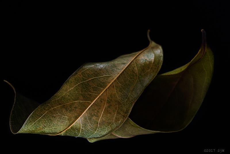 Leaf study - Dried Leaves