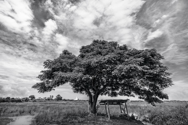 Chamchuri tree in a rice field in Ang Tong
