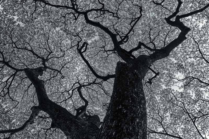 Looking up into the leaves and branches of a Chamchuri tree in Bangkok