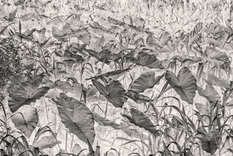Philodendron leaves on the bank of the Nakhon Chai Si river