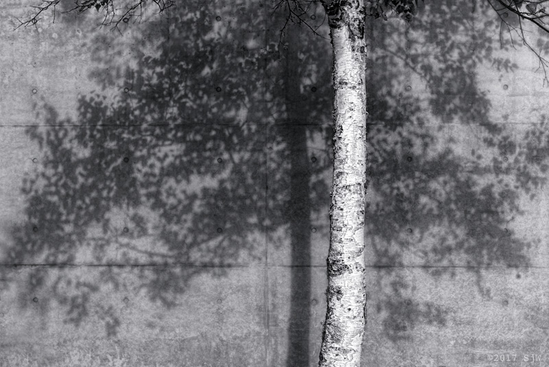 Silver Birch tree against a concrete wall