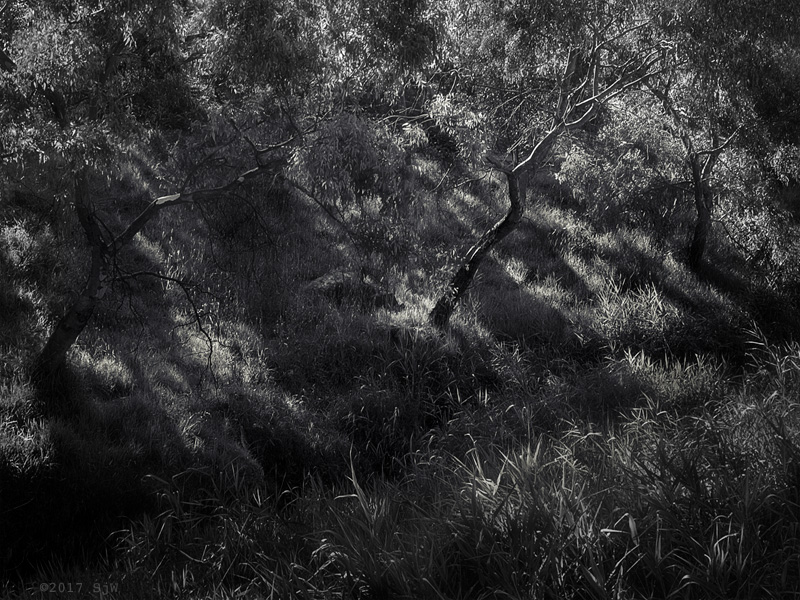 Eucalyptus trees in late afternoon sunlight
