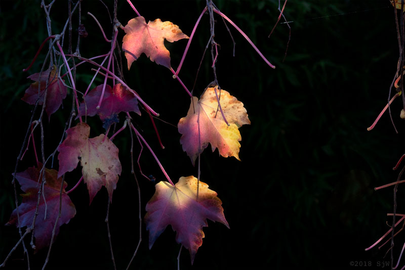 Autumn leaves lit by the morning sun