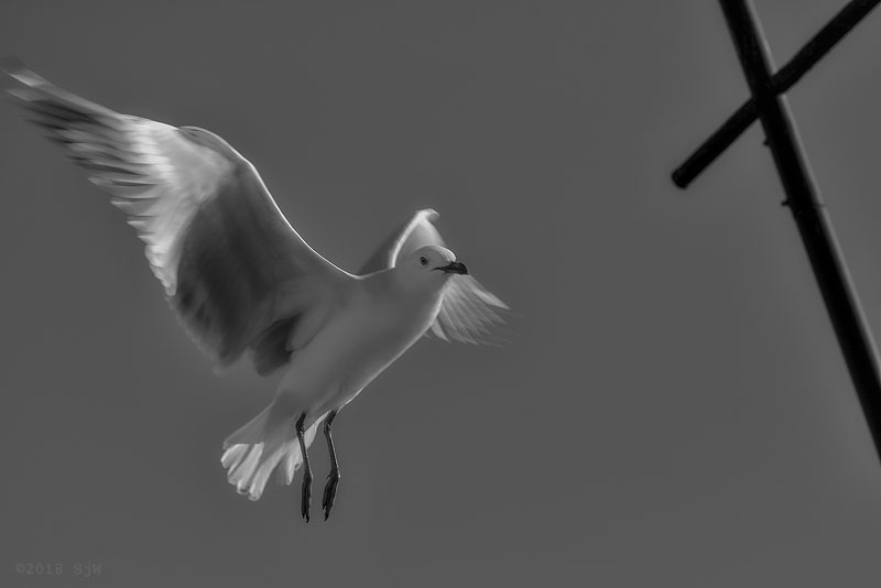 Seagull flying in the wind